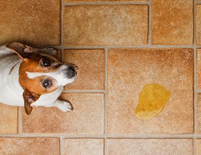 cachorro orina veterinario hospitalet