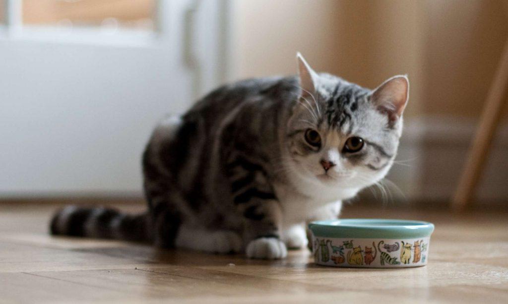 gato-comiendo-veterinario-hospitalet