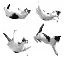 gato paracaidista veterinario hospitalet