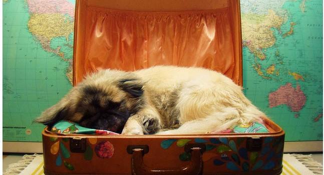 perro viajero viajar con vuestra mascota veterinario hospitalet