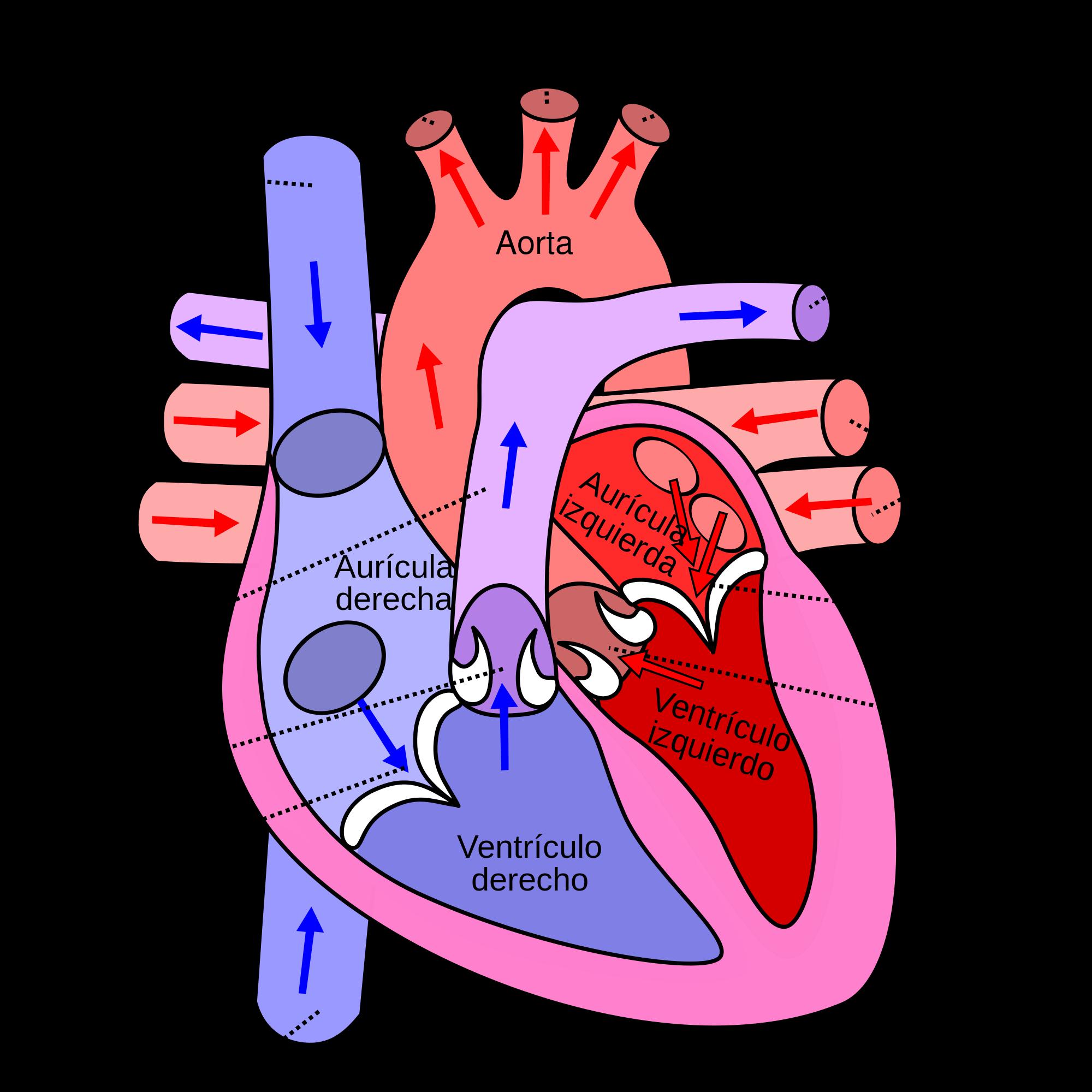 Dorable Diagrama De Marcado Corazón Galería - Anatomía de Las ...