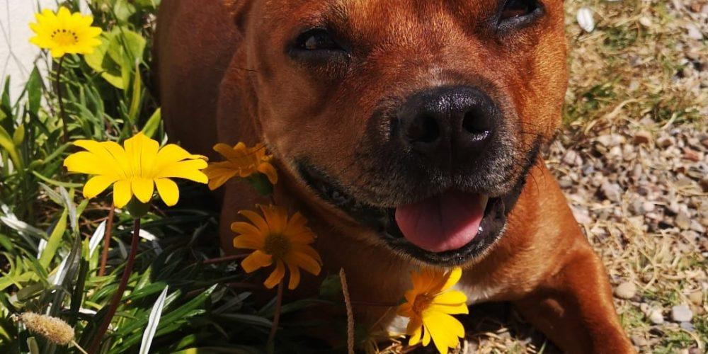 Tratamiento mastocitoma en el perro: Maya