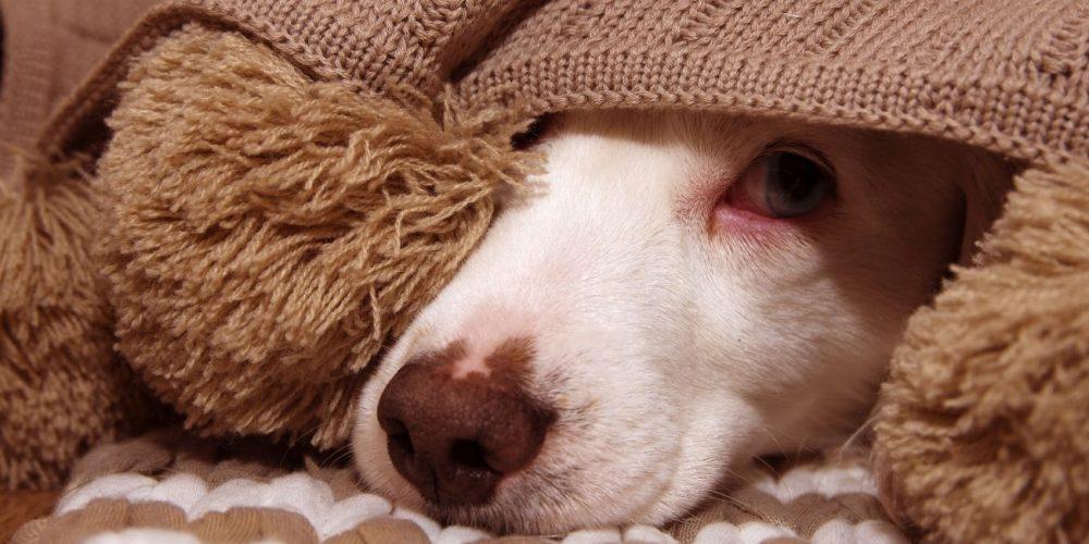 Miedo a ruidos en perros